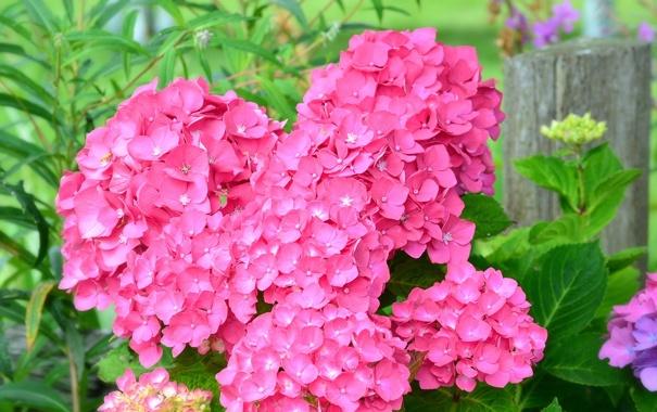 Фото обои цветы, листва, цветение, flowers, гортензия, bloom, hydrangea