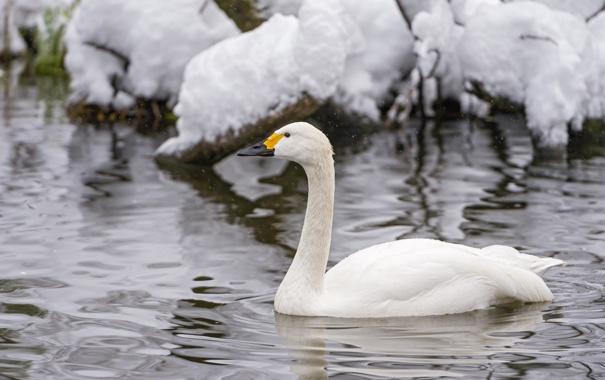 Фото обои белый, снег, рябь, грация, лебедь, шея, водоём