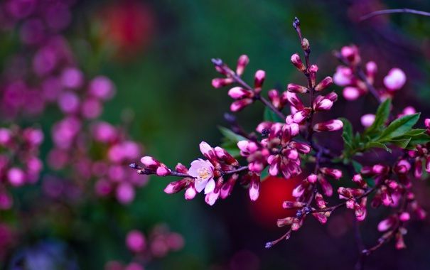 Фото обои ветка, весна, Asetskaya, Purple Spring