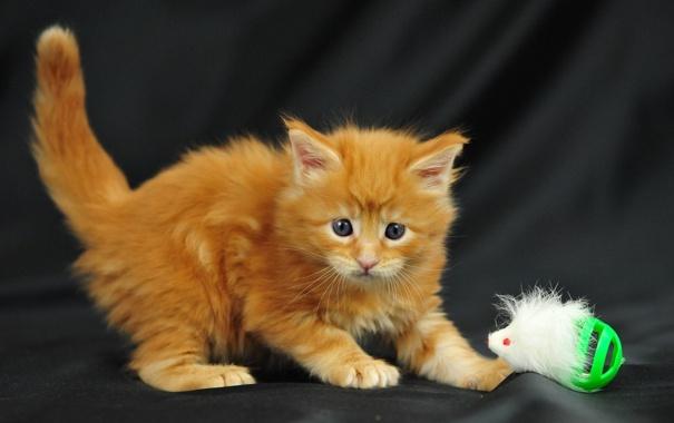 Фото обои котенок, игрушка, пушистый, рыжий