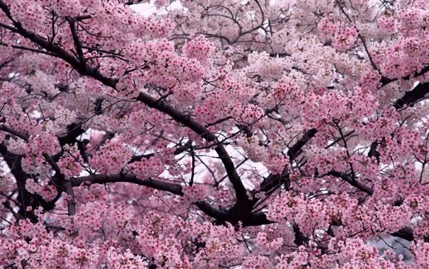 Фото обои цветы, дерево, вишни