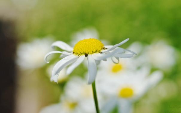 Фото обои цветок, цветы, фон, widescreen, обои, размытие, ромашка