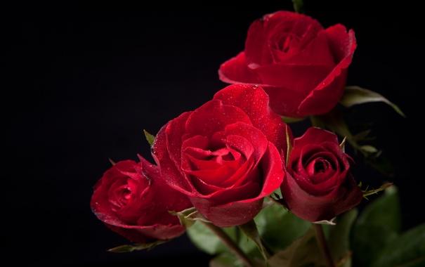 Фото обои темный фон, розы, бутоны, цветение