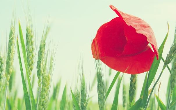 Фото обои колосья, небо, мак, поле, пшеница, цветок, макро