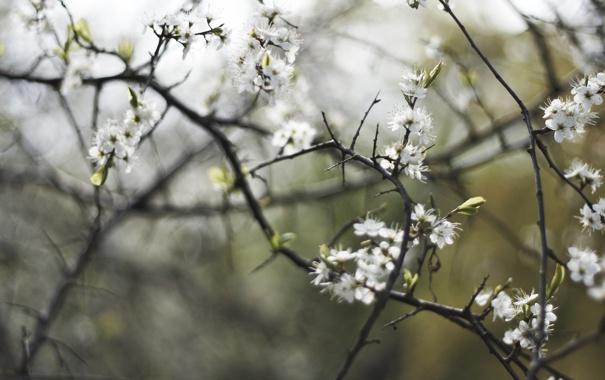 Фото обои весна, ветки, вишня, цветение, лепестки, белые, деревья
