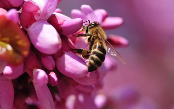 Фото обои цветок, пчела, шмель