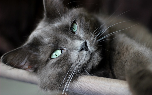 Фото обои кот, усы, взгляд, макро, лежит, зеленые глаза