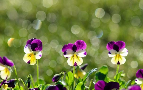 Фото обои цветы, анютины глазки, виола