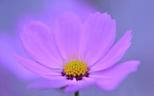 Фото обои цветок, природа, лепестки, космея