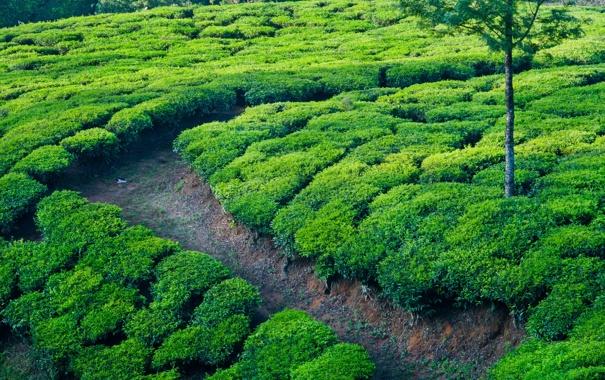 Фото обои дорожка, индия, чай, чайные плантации, тропинка, поля