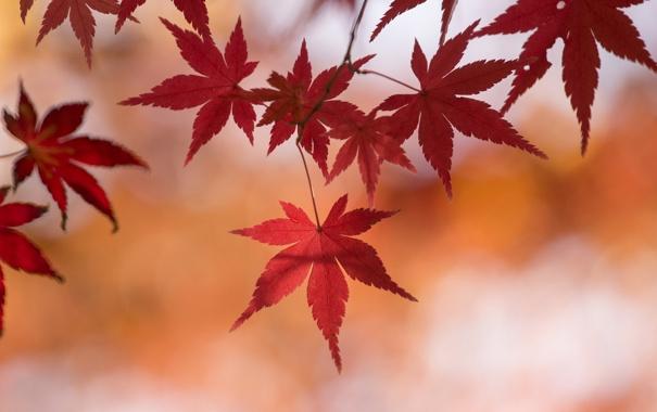 Фото обои осень, листья, макро, ветка, клен
