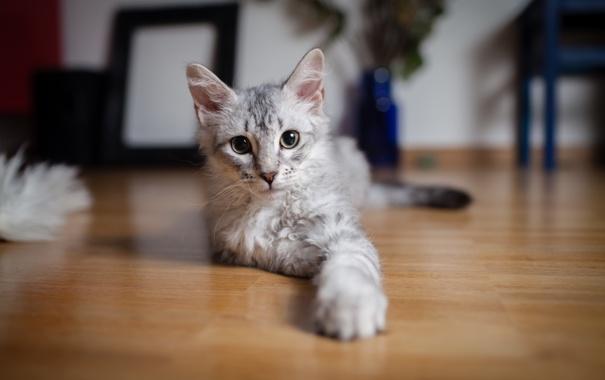 Фото обои кошка, глаза, настроение, лапки, шерсть, Кот, мордашка
