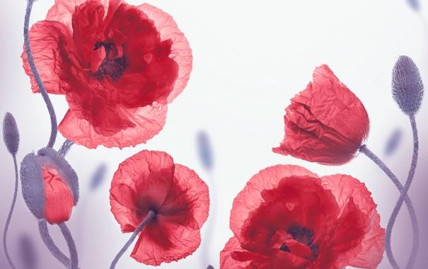 Фото обои цветы, маки, бутоны, цветение, flowers, полевые цветы, poppies