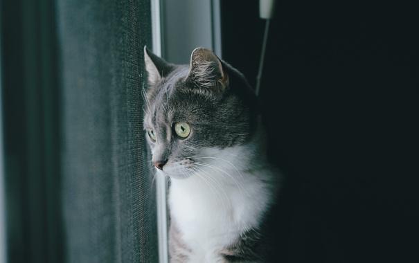 Фото обои кот, серый, шерсть
