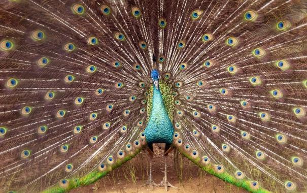 Фото обои bird, Peacock, serlunar
