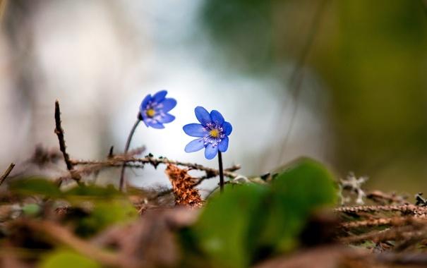 Фото обои природа, Цветы, голубые, в траве