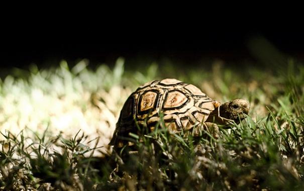 Фото обои трава, животное, черепаха