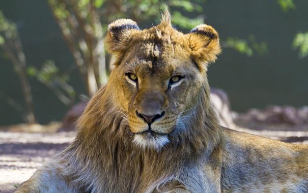 Фото обои взгляд, хищник, лев