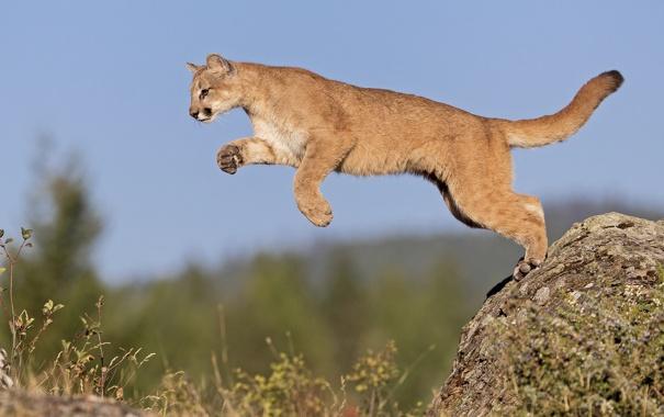 Фото обои кошка, небо, природа, скала, прыжок, камень, пума
