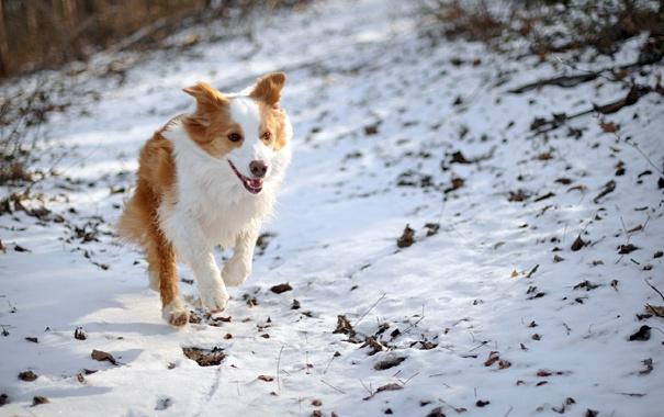 Фото обои зима, поле, собака