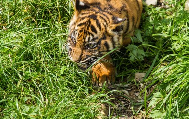 Фото обои кошка, трава, детёныш, котёнок, тигрёнок
