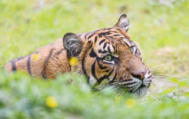 Фото обои дикая кошка, морда, тигр, усы