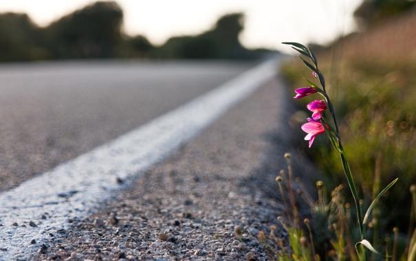 Фото обои дорога, цветок, асфальт, макро, закат, полоса, растение
