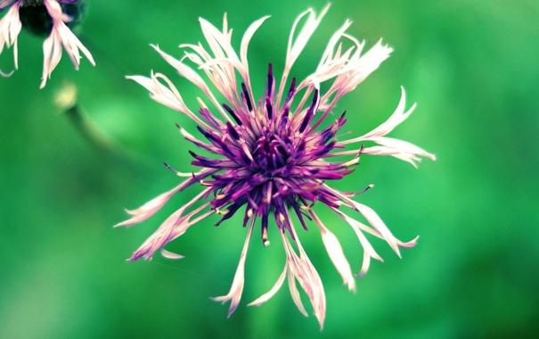 Фото обои цветок, фиолетовый, макро, зеленый, фото, фон