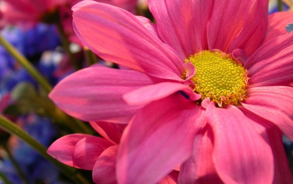 Фото обои цветок, макро, розовый
