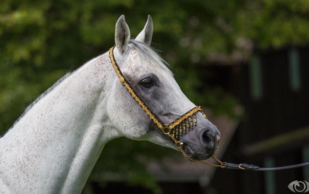 Фото обои морда, серый, конь, лошадь, профиль, (с) OliverSeitz