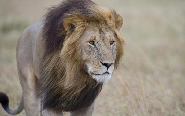 Фото обои кошка, хищник, лев, грива, шрамы