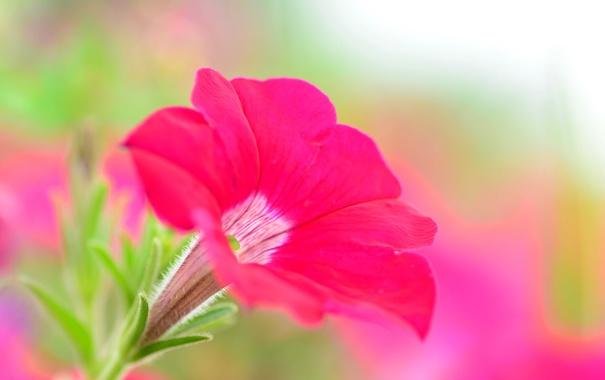 Фото обои цветок, краски, петуния