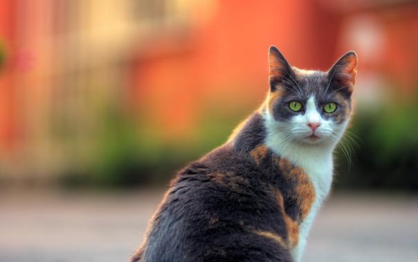 Фото обои кот, взгляд, фон
