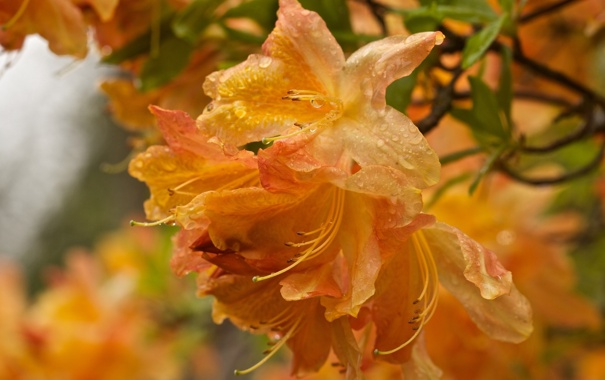 Фото обои капли, макро, цветы, оранжевый, лепестки