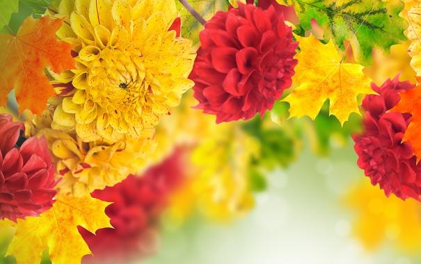 Фото обои листья, желтый, красный, лепестки, бутоны, георгин