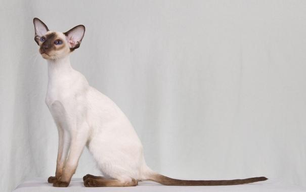 Фото обои кот, Кошка, сиамская, колор-пойнт, настоящая сиамская кошка