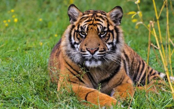 Фото обои трава, взгляд, морда, тигр, хищник, суматранский