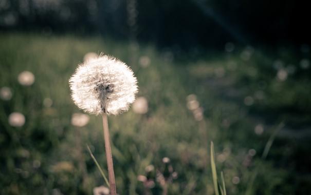 Фото обои зелень, поле, трава, макро, одуванчик, луг