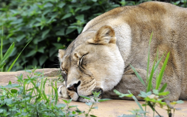 Фото обои кошка, трава, отдых, сон, львица