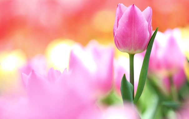 Фото обои цветы, размытость, бутон, тюльпаны