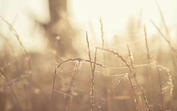 Фото обои трава, солнце, закат, паутина, колоски