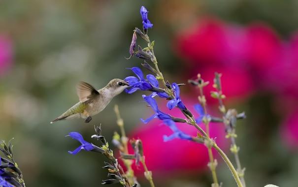 Фото обои цветок, колибри, птичка