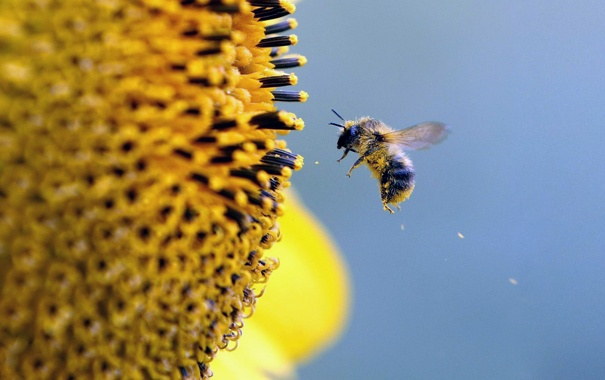 Фото обои цветок, небо, пчела, пыльца