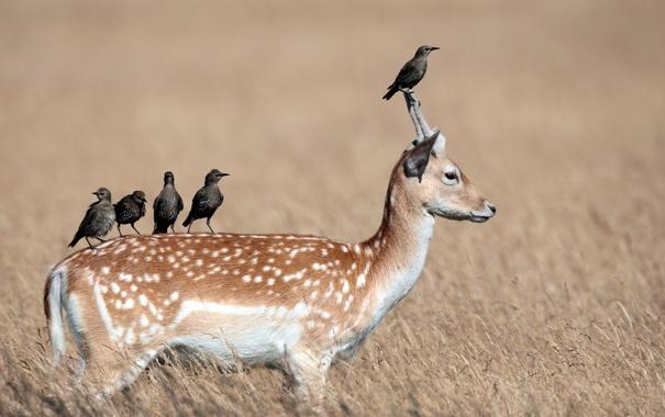 Фото обои птицы, природа, олень