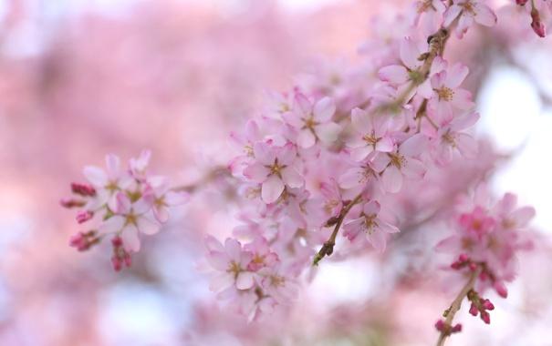 Фото обои вишня, ветка, весна, сакура