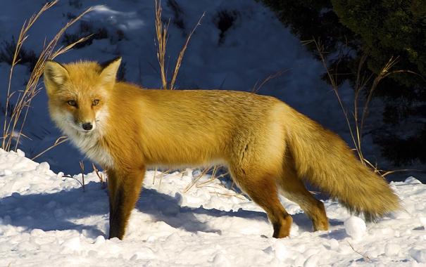Фото обои взгляд, снег, солнечный свет, или рыжая лисица (Vulpes vulpes), Обыкновенная