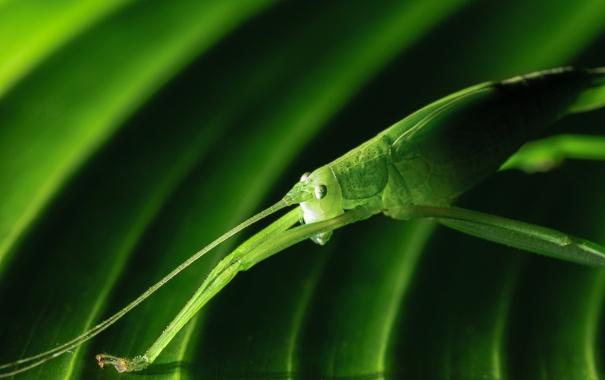 Фото обои природа, лист, зеленый, насекомое, кузнечик
