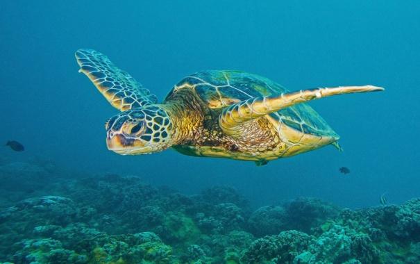 Фото обои природа, черепаха, море, океан