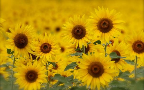 Фото обои поле, лето, подсолнухи, желтые