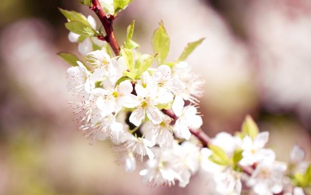 Фото обои макро, цветы, природа, вишня, розовый, ветка, весна